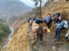 Mules Carrying our Gear
